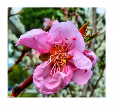 fiore di pesco hdr_filtered ottima +_ridimensionare.jpg
